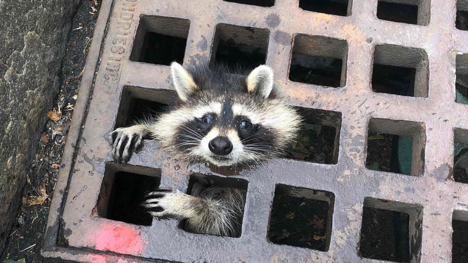 A raccoon looks out from a grate after getting stuck in Newton, Massachusetts.