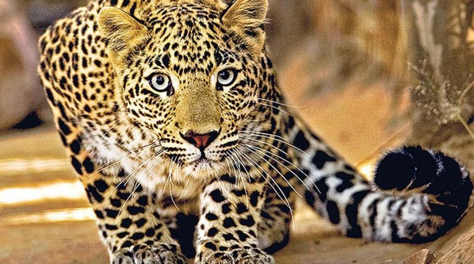 Leopard creates scare in Rajasthan.