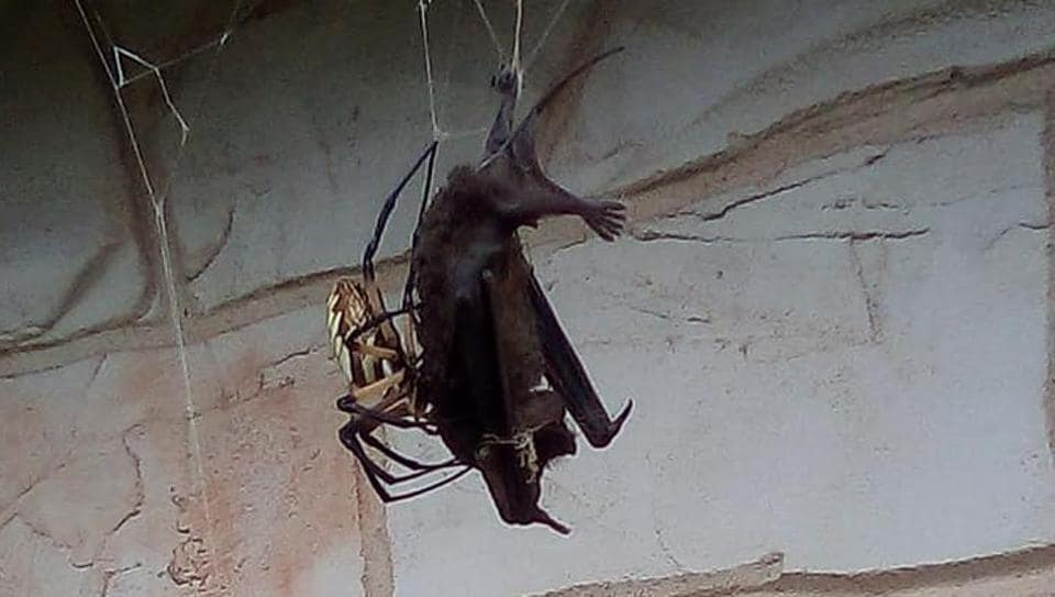 Spider traps, then eats bat in its web  Pics are the stuff of