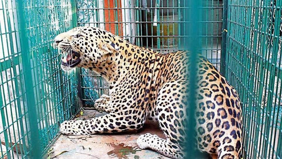 Wildlife officials said the 45-kg male leopard would heal soon, and would be released in the early hours of Saturday.