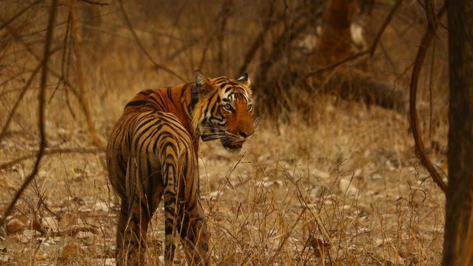 Forest officials have identified the tiger as T-104 from the radio collar around its neck.