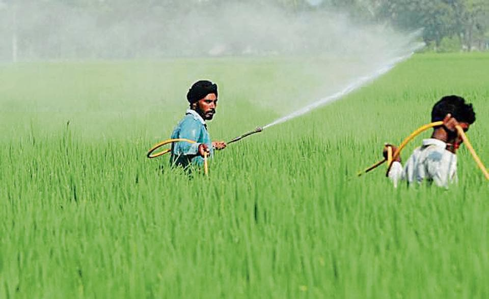 Farmer spraying pesticides in  the paddy crops.