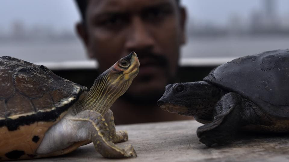 Two large turtles - Indian roofed turtle (left) and Leith's softshell turtle (right) - were rescued by a fisherman Hemant Kohli , near Worli village on Sunday. While both turtles are known to have found in inland waters, it is not clear whether they were left at sea or had washed ashore. (Anshuman Poyrekar / HT Photo)
