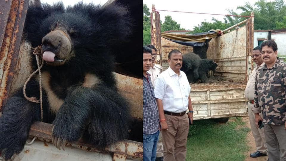 Forest department have initiated a probe to ascertain if the bears were being smuggled or if they were being used for exhibition.
