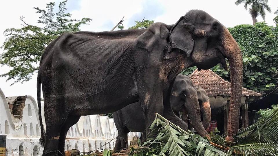 Tourism and wildlife minister John Amaratunga said he ordered wildlife authorities to investigate how the elephant was forced to take part in a lengthy parade despite her poor health.