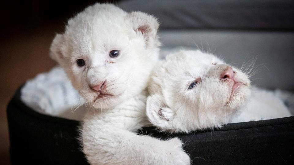 Two white lion cubs laying in their basket at the association