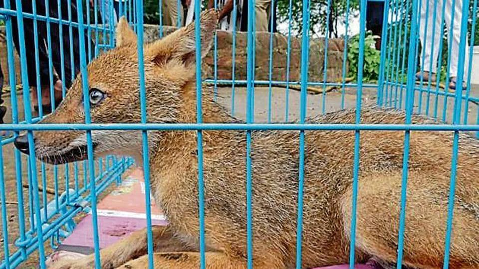 The golden jackal is native to the Indian subcontinent and protected under Schedule II of the Wildlife Protection Act, 1972.