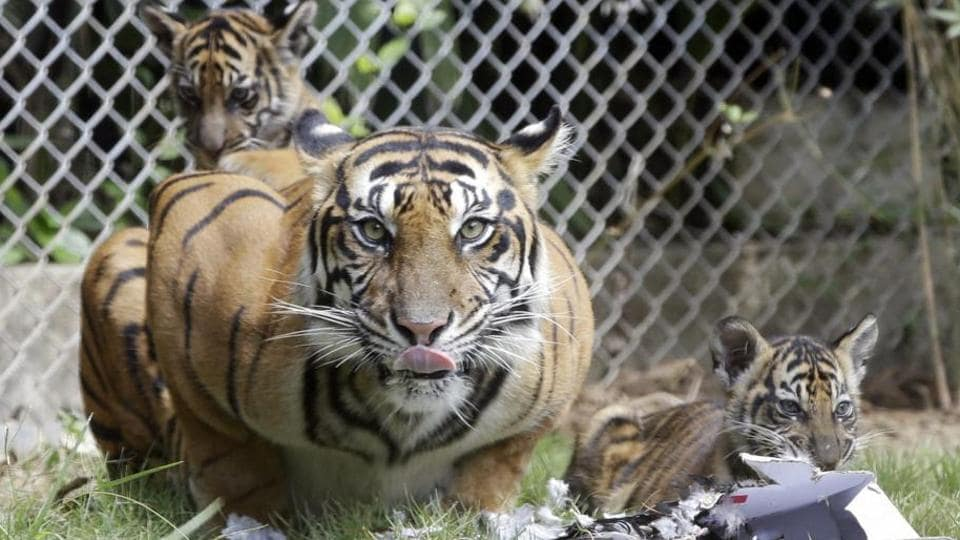 The Rs 19 crore study was approved last week by the technical committee of the National Tiger Conservation Authority.