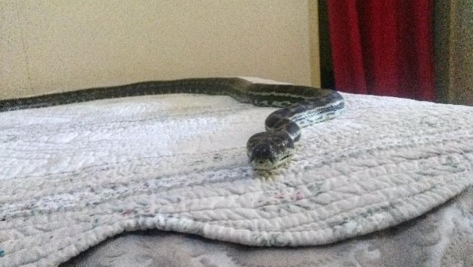 """""""The snake looked pretty comfy on the bed when we arrived,"""" says the post."""