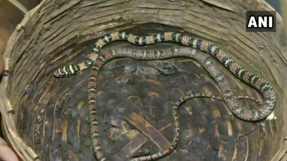 """""""This colourful snake is called gliding snake and it's a rare species in this region. It is mostly found in the region of Sri Lanka and south India,"""" an official said."""