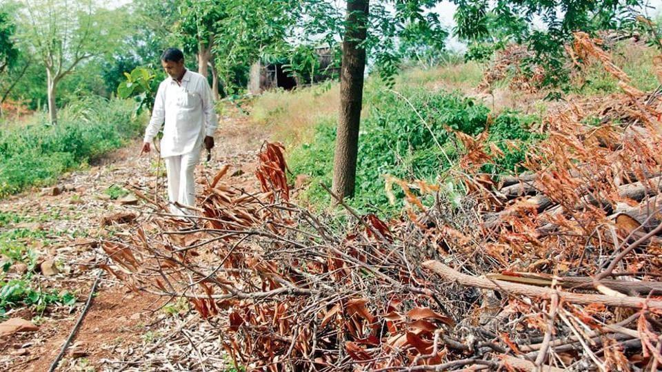 Sakharam Shinde's destroyed mango crop.