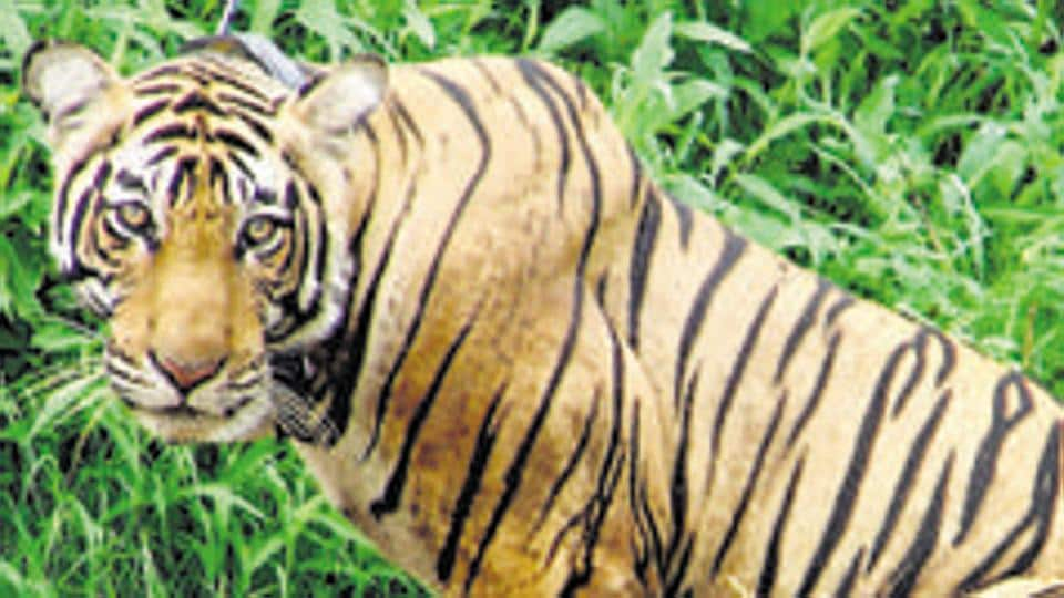Conservation group Traffic said skins were the single-most frequently seized tiger parts, with an average of 58 whole tiger skins seized each year.