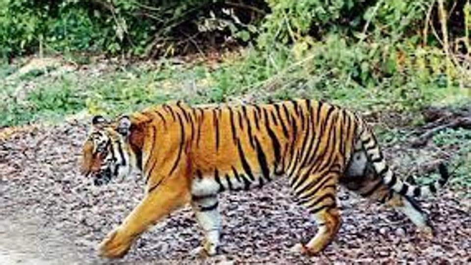 The smuggled tiger parts include skin, bones, nails and whole carcasses. The report states that Mumbai, Delhi and Kolkata are global tiger trafficking hotspots.