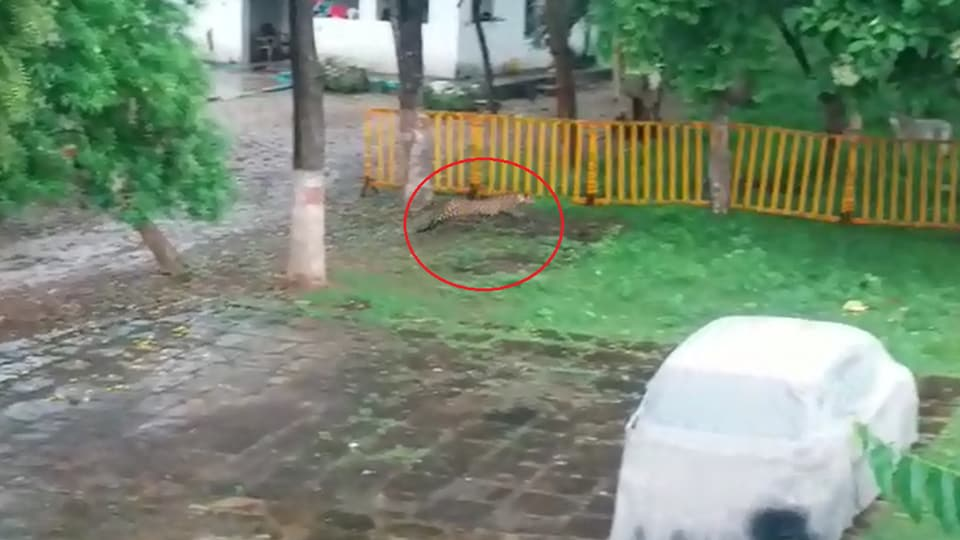 Two employees spotted the leopard at the guest house.