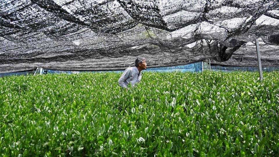 "Tea farmer Yoshio Shoji checks a net over a matcha tea field in Fujieda, Shizuoka prefecture, Japan. Tea growers like 67-year-old Yoshio Shoji are jumping on the bandwagon to grow matcha leaves -- as they command a higher price than ""sencha"", needle-shaped leaves used to make the traditional Japanese drink. (Charly Triballeau / AFP)"