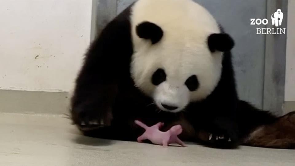 Panda Meng-Meng looks at one of her newborn twin cubs at Berlin Zoo.