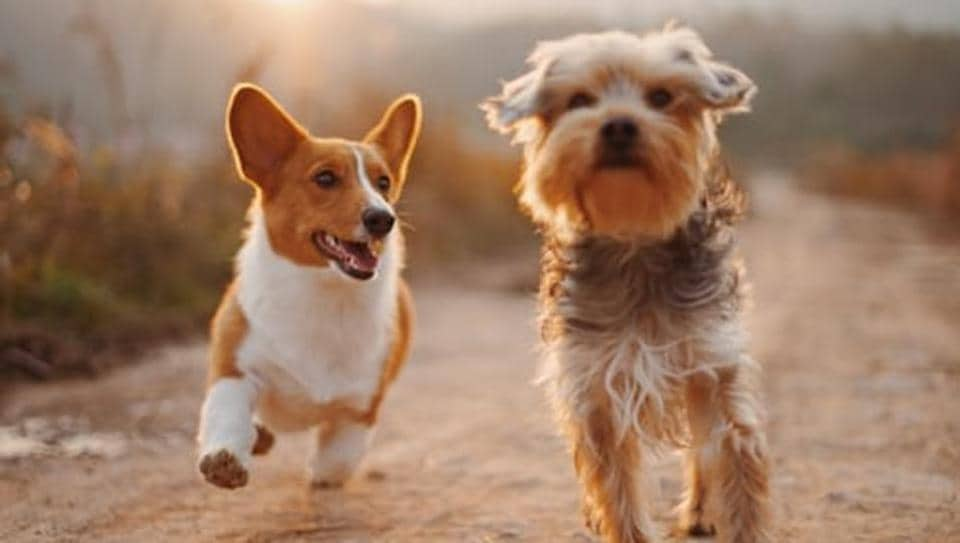 Most modern dog breeds were developed in an intentional, goal-driven manner relatively recently in evolutionary time.