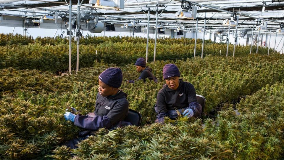 Women workers pick up leaves from cannabis plants inside a greenhouse of Medigrow, a Lesotho-Canadian company that grows legal cannabis, located near Marakabei,Lesotho. In 2017, the tiny landlocked kingdom of 2.1 million people decided to tap into the booming medical marijuana industry, becoming the first country in Africa to allow the cultivation of cannabis for medicinal purposes. (Guillem Sartorio / AFP)