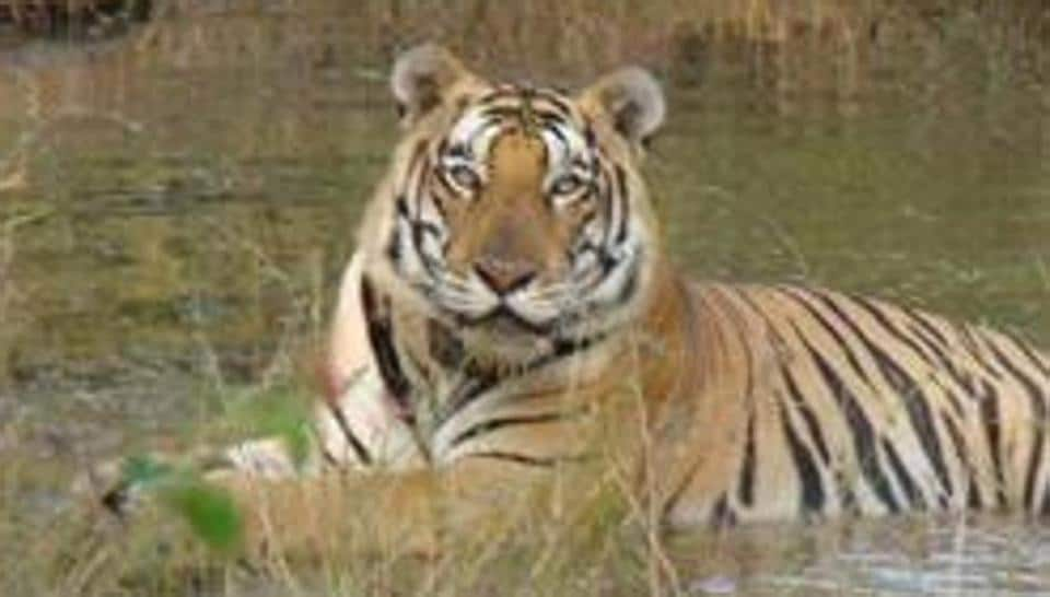 A report by the Supreme Court-appointed Central Empowered Committee (CEC) has observed that the first phase of the Ken Betwa River linking project could threaten Panna Tiger Reserve's status as a source area for tigers, or an area with high density of the big cats.(HT file photo)