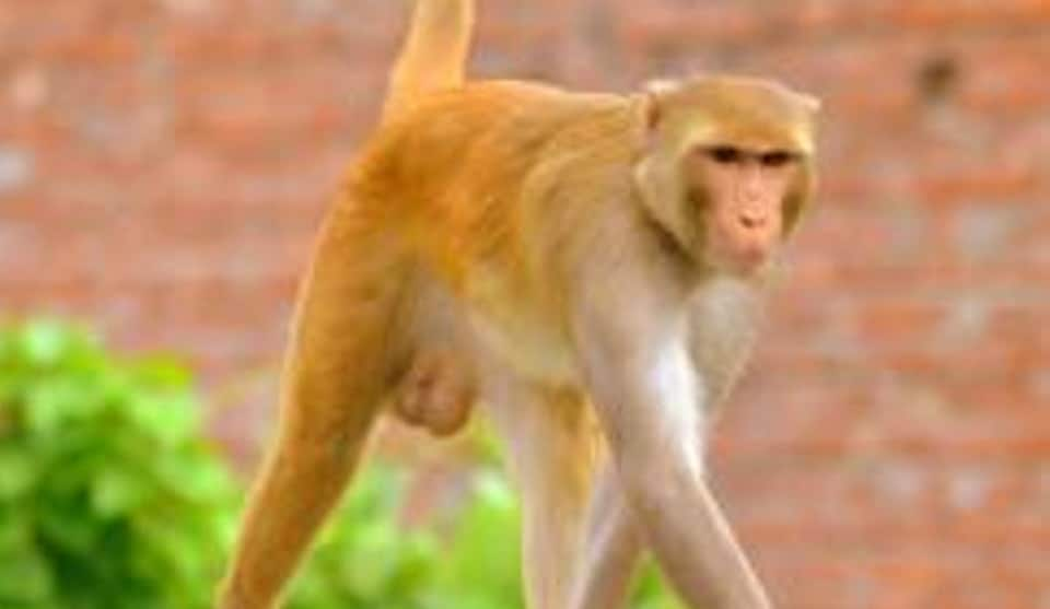 Besides monkey bites, there have been several cases of the simians chasing and snatching food and work files of officials.