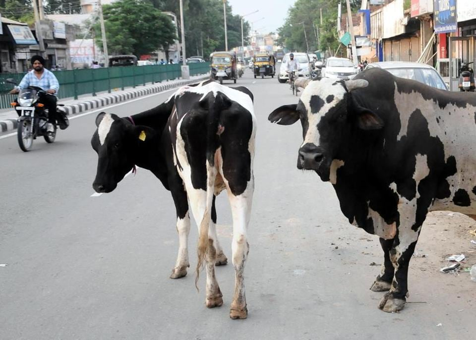 Stray cattle can be seen roaming freely on national and state highways across district and highly populated interiors parts of Patiala (urban) and other link roads.