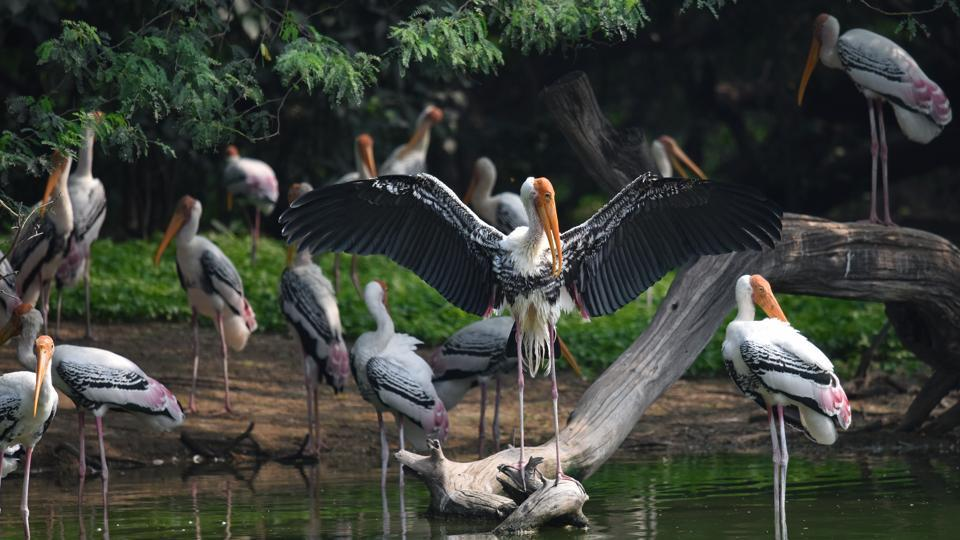 A flock of painted storks seen at Delhi Zoological Park, in New Delhi. (Sanchit Khanna/HT PHOTO)