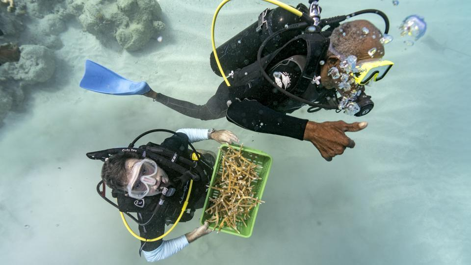 Divers Everton Simpson (R), and Andrew Todd bring staghorn coral from a coral nursery. Bits of fishing line are used to tie clusters of staghorn coral onto rocky outcroppings — a temporary binding until the coral's limestone skeleton grows and fixes itself onto the rock. The goal is to jumpstart the natural growth of a coral reef. And so far, it's working. (David J. Phillip / AP)