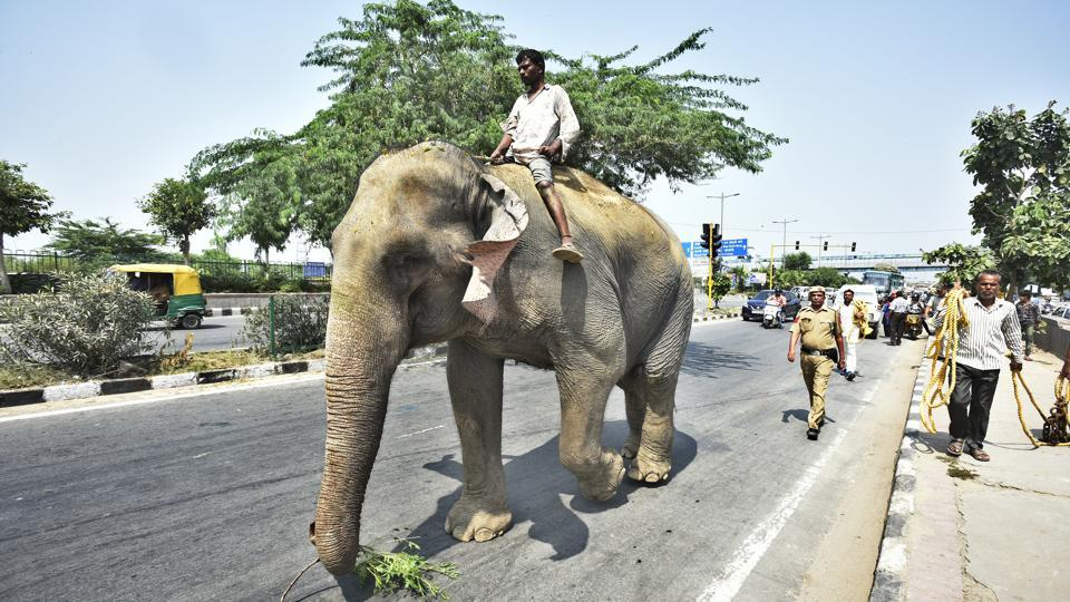 """Lakshmi, suffering from a zoonotic viral disease, is Delhi's last elephant, and was supposed to be """"seized"""" by the forest department for rehabilitation. The move was in accordance with a 2016 Delhi High Court order to take elephants in the city away from human habitation. She went missing just a few days before she was to be shifted to Haryana. (Raj K Raj / HT Photo)"""