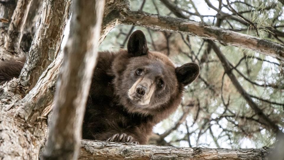 A 2-year-old bear in a tree in Orem, Utah.