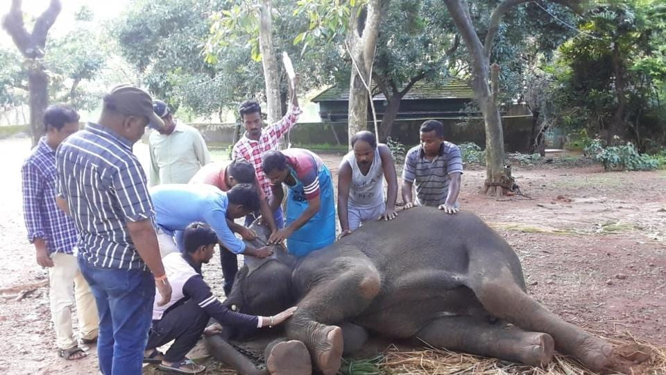 Elephant Kamla died on Thursday at Odisha zoo while undergoing intensive treatment for the herpes virus, taking the death toll due to the deadly virus to three in less than a month