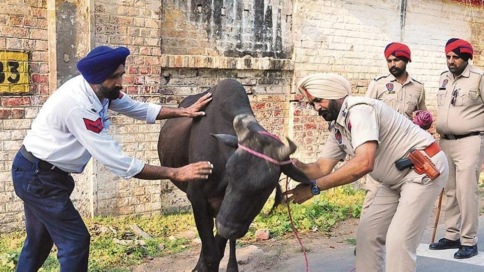 Punjab police cops catching stray cattle in Bathinda on Thursday as a part of police campaign to catch and transport the cattle in to cow sheds to rid the city traffic from stray cattle.