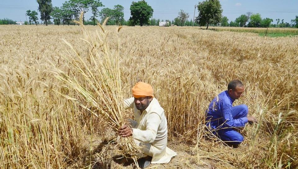 A farmer harvesting his crop in a village in Punjab.
