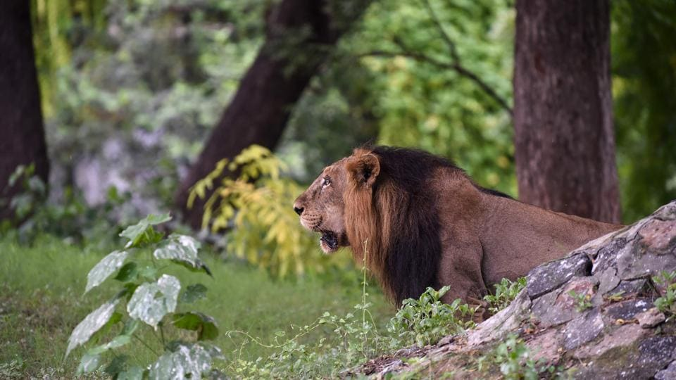 Asiatic lion 'Ambar' looks on in the open enclosure at the Kamla Nehru Zoological Garden, in Ahmedabad, Gujarat. (Sam Panthaky / AFP)