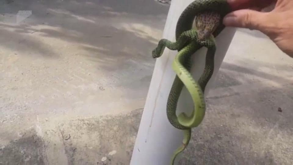 The man broke the fight between the snake and the gecko using his bare hands.