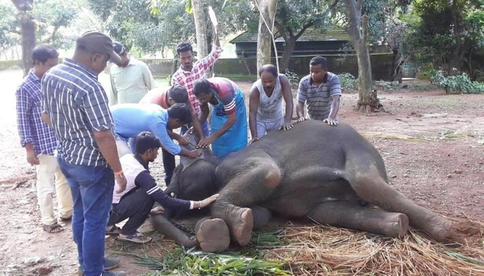 On eof teh four elephants that died of herpes virus in Nandankanan zoo  in  Bhubaneswar recently.