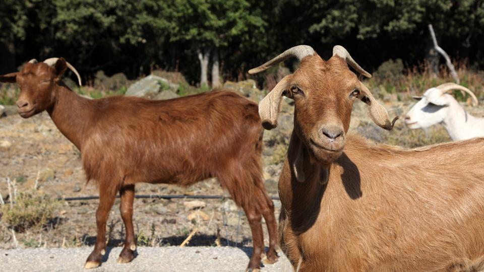 Goats walk by a car on a road near Kato Meria village in Samothraki island.