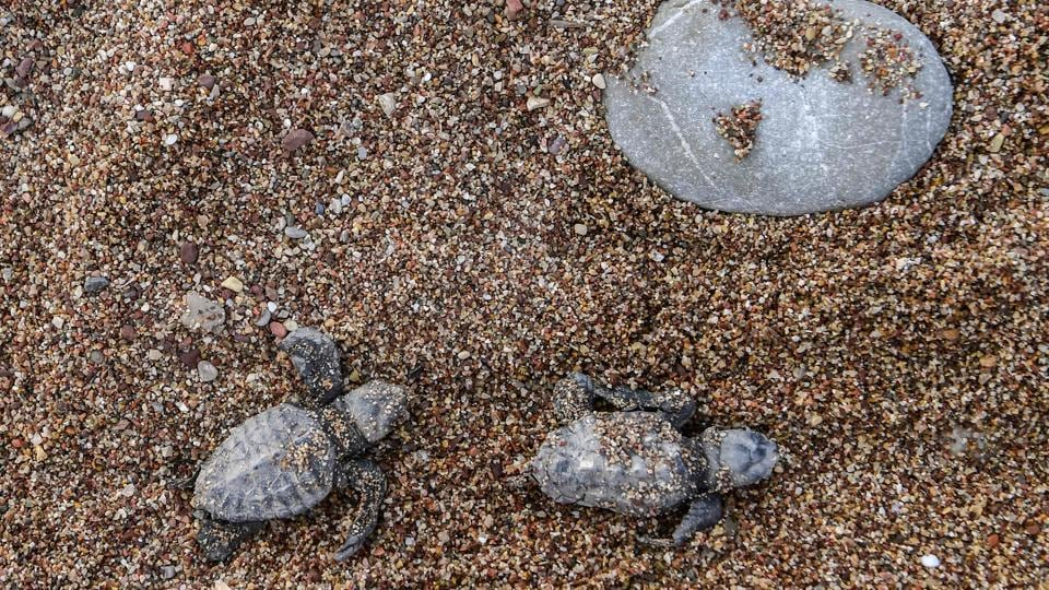 Newborn loggerhead turtles (Caretta caretta) head towards the sea after got free from their eggshells. Their overall numbers are unknown but some Pacific and Indian Ocean populations are critically low, while conservation measures have bolstered their presence in the Mediterranean, environmental groups say.  (Aris Messinis / AFP)