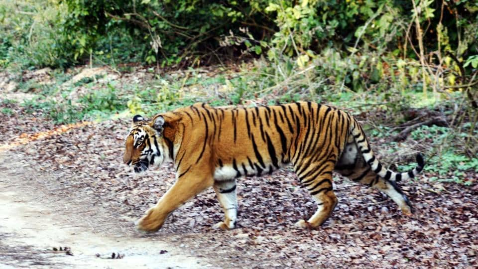The director of Bandipur Tiger Reserve clarified that the  shoot order was only in case things go wrong while capturing the animal and in case it attacks forest staff.