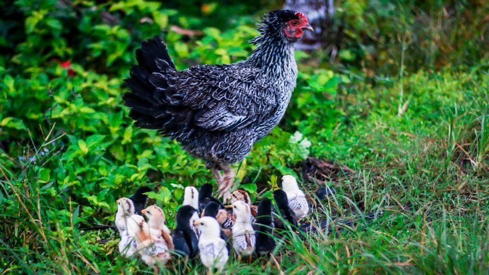 The United States eats more chicken than any other country, and its growing consumption of the meat is harming the environment.