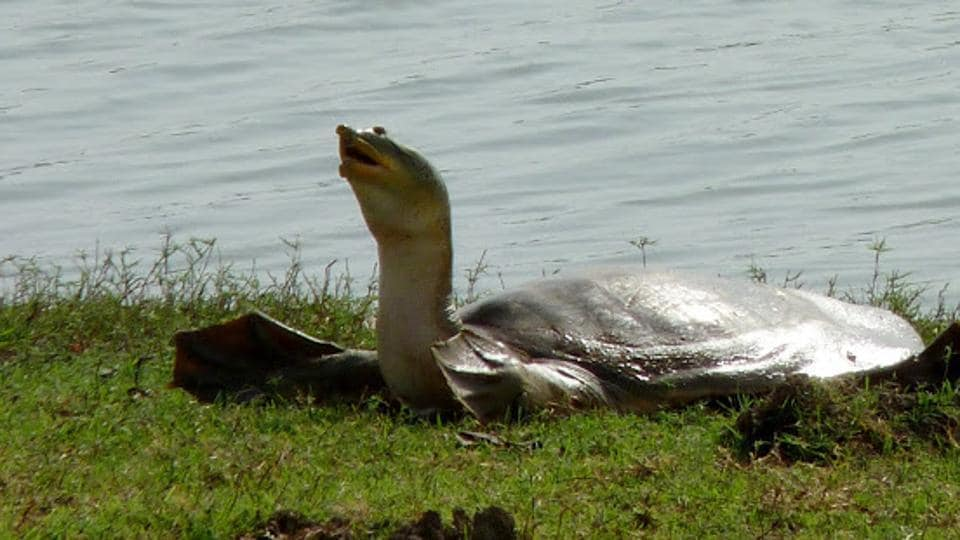 Indian softshell turtle  is considered to be vulnerable because of multiple threats to its survival such as loss of habitat, poaching and illegal trade. (Image used for representation)