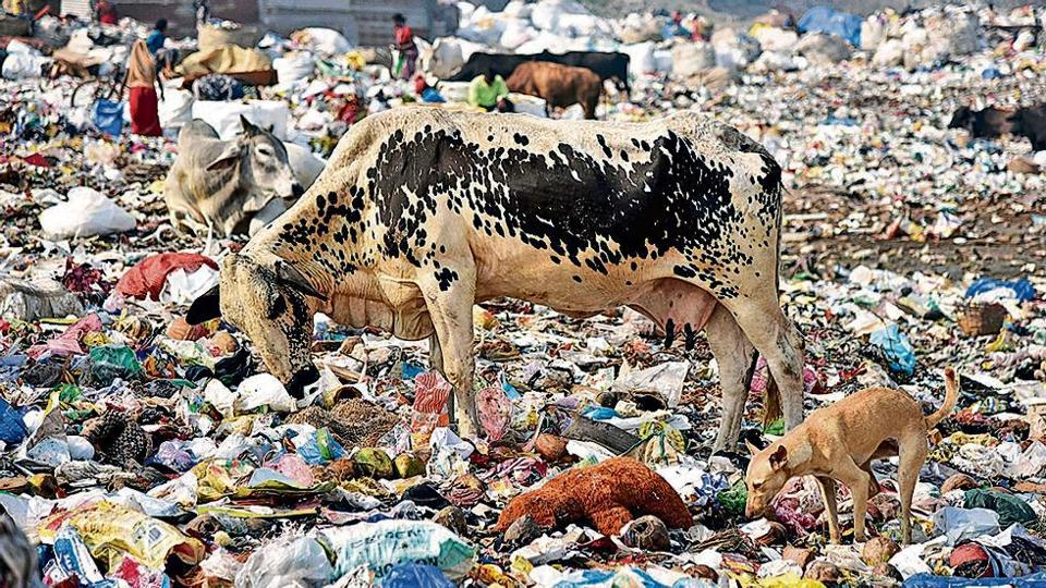 Animals eating waste materials on a pile of garbage in New Delhi