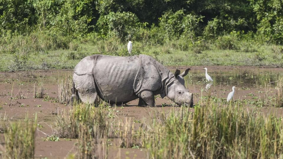 A one-horned rhinoceros seen at the Bagori Range of Kaziranga National Park in Nagaon district of Assam. The park was reopened on Saturday for tourists after its routine closure during the monsoon season. (PTI)