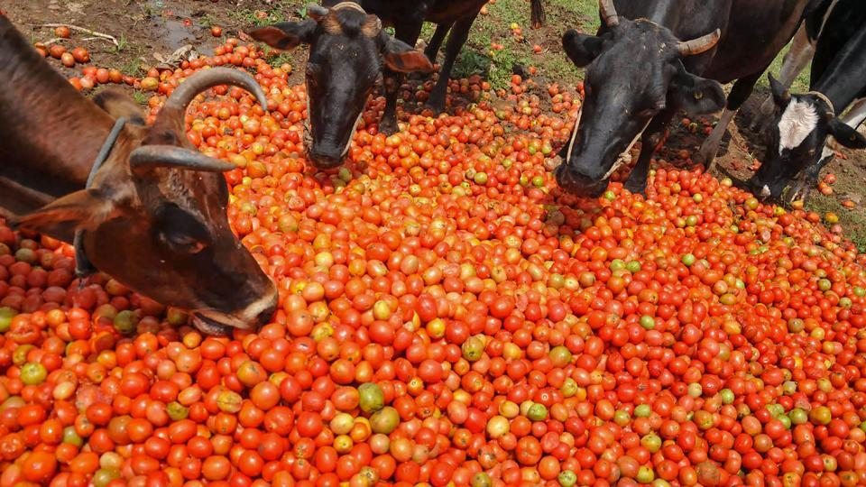 Cows feed on tomatoes destroyed during the floods following heavy rain in Chimagalur, Karnataka. (PTI)