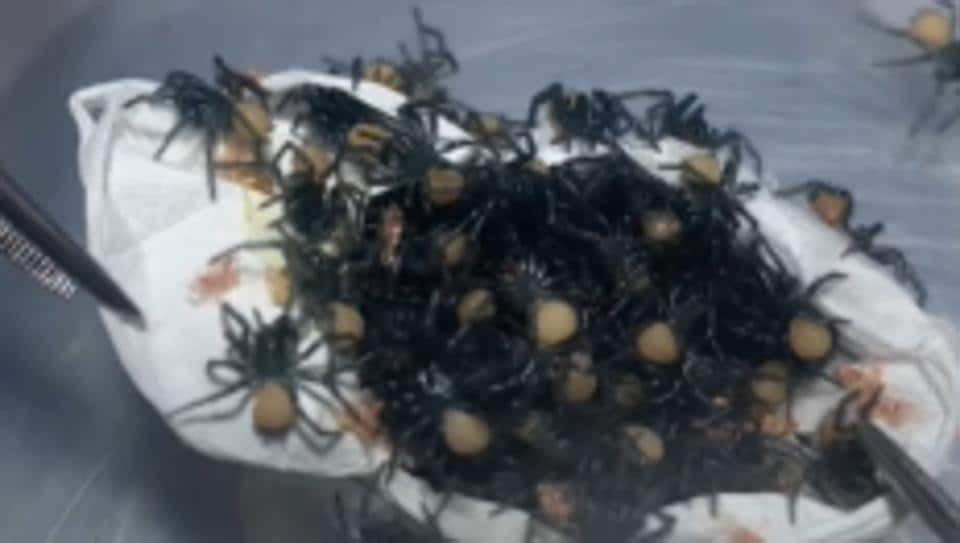 """Opening an egg sac of deadly funnel-web spiders!"" says the caption posted along with the video."