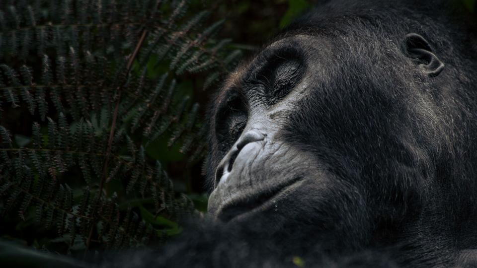 A male Eastern lowland gorilla, a survivor in a critically endangered species reduced to about 250 members, rests in the forest of Kahuzi-Biega National Park in northeastern Democratic Republic of Congo. Since summer 2018, some local communities have started logging in this protected area, threatening gorilla habitat.  (Alexis Huguet / AFP)