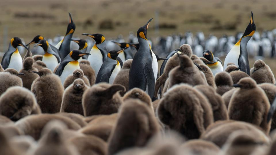 While British Prime Minister Boris Johnson's government and the European Union squabble over Brexit, conservationists in the Falklands -- a British overseas territory of 3,400 inhabitants -- are anxiously following events as they run the risk of losing significant EU funding. (Porciuncula Brune / AFP)