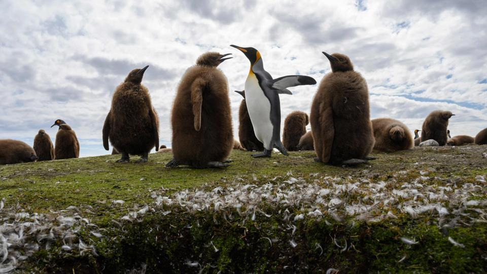 The windswept British outpost in the South Atlantic has received 600,000 euros ($660,000) in funding from the EU's Biodiversity Ecosystems Services in Territories of European overseas (BEST). Some 90% of the UK's biodiversity is found in overseas territories, according to the Falklands government. Bertram wants to know how that financing shortfall will be made up after October 31, Johnson's deadline for leading Britain out of the bloc. (Porciuncula Brune / AFP)