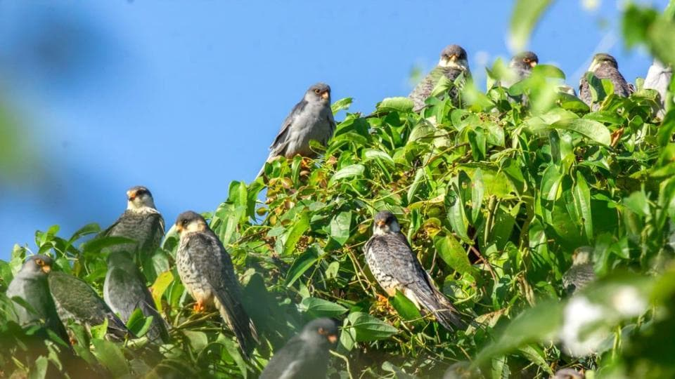 More than a million of Amur falcons raptors stopover in Pangti village,Nagaland for two months.