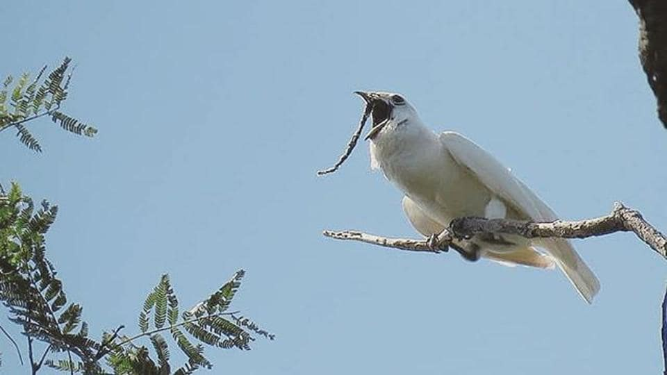 All for love: How the white bellbird, named for being world's loudest, sings its heart out.
