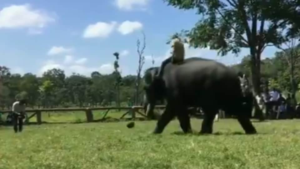 An elephant is seen playing football.
